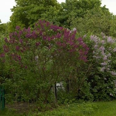 Syringa vulgaris Souvenir de Louis Spaeth (2)