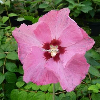 Hibiscus syriacus Aphrodite (2)