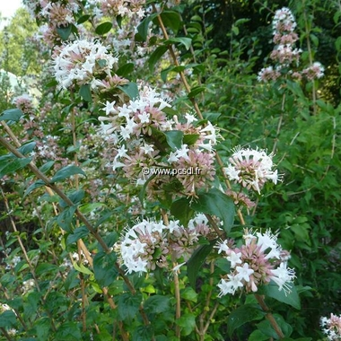 Abelia chinensis (3)