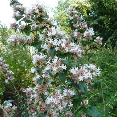 Abelia chinensis (1)
