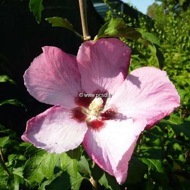 Hibiscus syriacus Aphrodite (3)