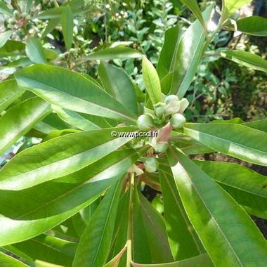 Gordlinia grandiflora (4)