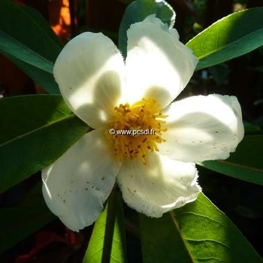 Gordlinia grandiflora (3)