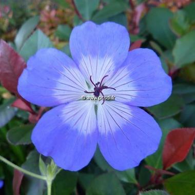 Geranium Rozanne (3)