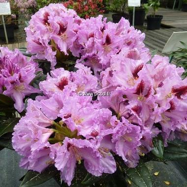 Rhododendron Kabarett (2)