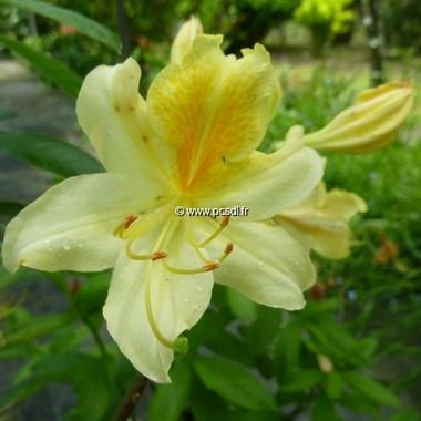 Rhododendron Toucan (azalée caduque) (2)