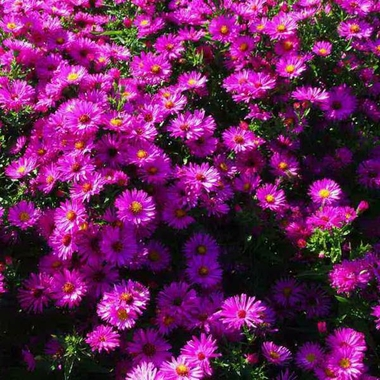 Aster Red Sunset