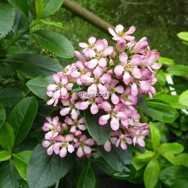 Escallonia laevis Pink Elle (3)