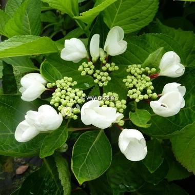 Hydrangea macrophylla Choco Chic (3)