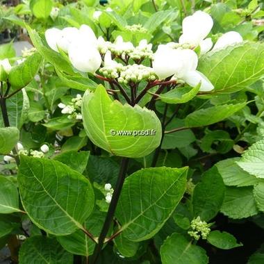Hydrangea macrophylla Choco Chic (1)