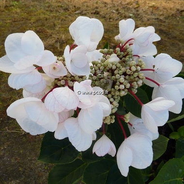 Hydrangea macrophylla Rendez-vous Choco Chic (1)