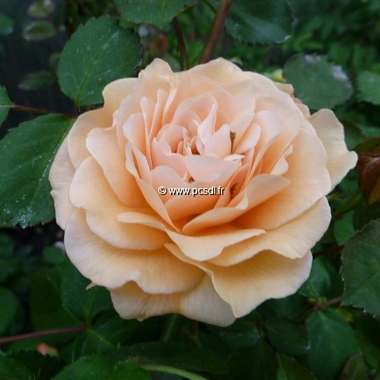 Rosa Buff Beauty (3)