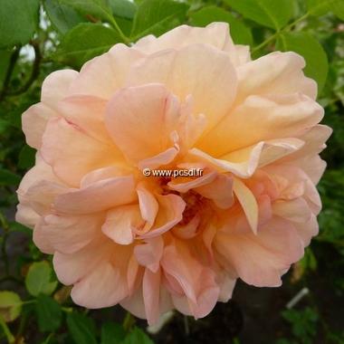 Rosa Buff Beauty (4)