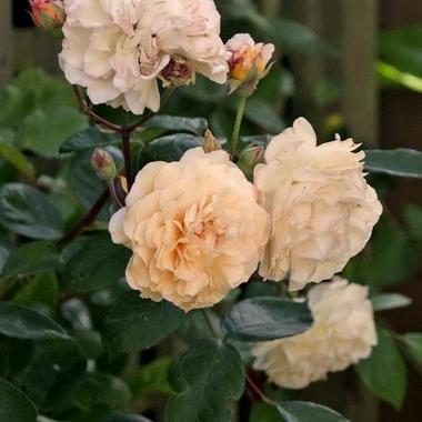 Rosa Buff Beauty (2)