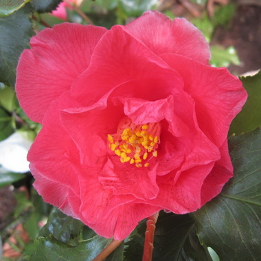 Camellia japonica Holly Bright (2)