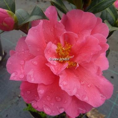 Camellia williamsii Senorita (2)