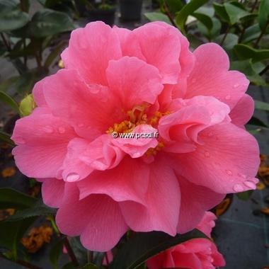 Camellia williamsii Senorita (3)