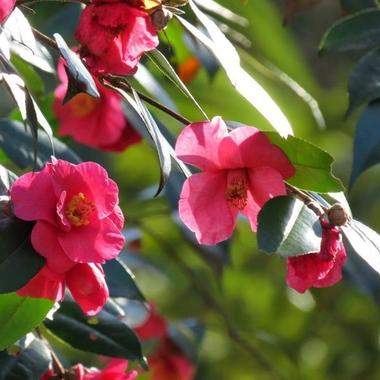 Camellia Crimson Candles
