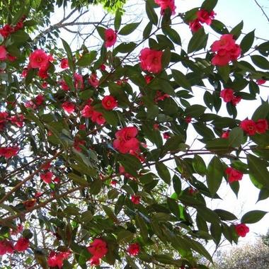 Camellia Crimson Candles (3)