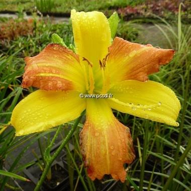 Hemerocallis EveryDayLily Yellow Punch (2)