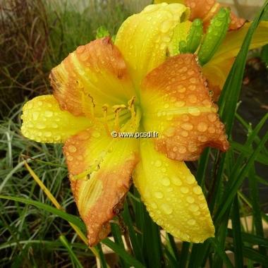Hemerocallis EveryDayLily Yellow Punch (3)