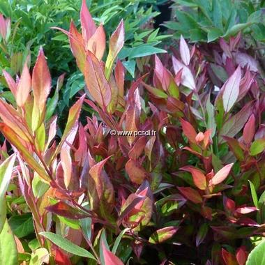 Leucothoe axillaris Little Flames (3)