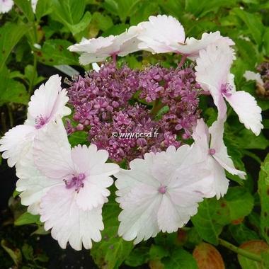 Hydrangea macrophylla Koria (14)