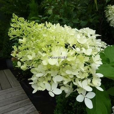Hydrangea paniculata Phantom (2)