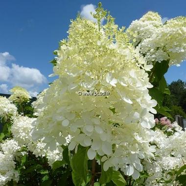Hydrangea paniculata Phantom (7)
