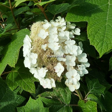Hydrangea quercifolia Burgundy (2)