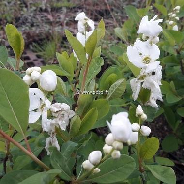 Exochorda Magical Springtime (2)