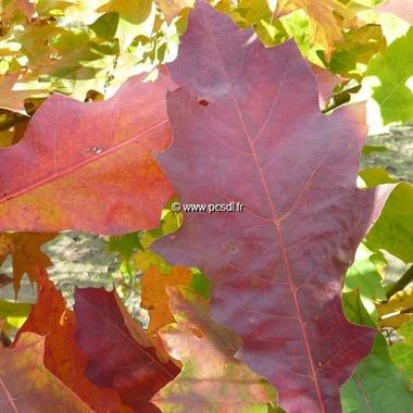 Quercus rubra (1)