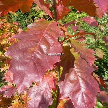 Quercus rubra (2)
