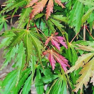 Acer palmatum Omureyama