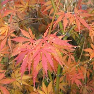 Acer palmatum Omureyama (1)