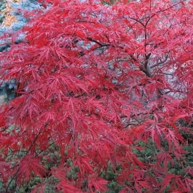 Acer palmatum dissectum Red Dragon (2)