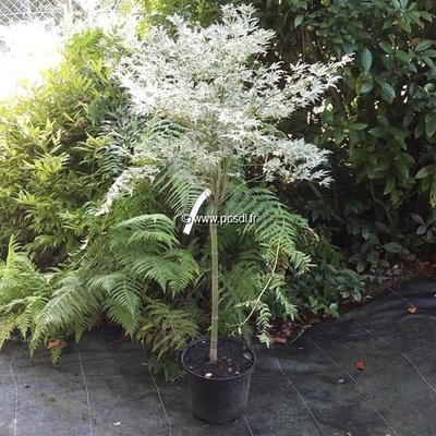 Acer palmatum 'Roseo Marginatum' tige 50cm