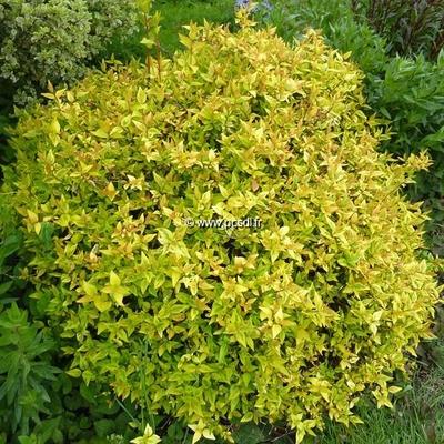 Abelia x grandiflora 39 kaleidoscope 39 30 40 c4l tous les arbustes p pini res c te sud des landes - Arbuste japonais persistant ...