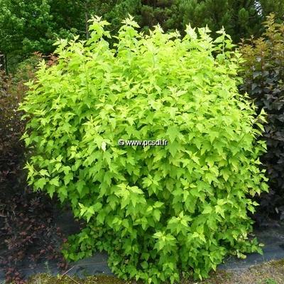 Physocarpus opulifolius 'Angel Gold' ® C4L 40/60