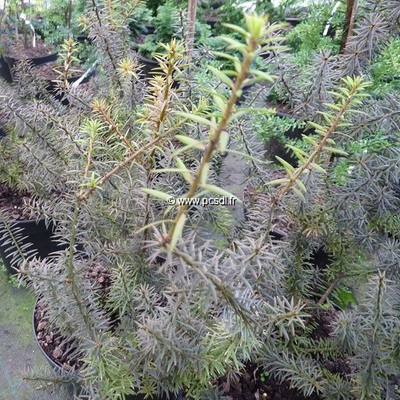 Podocarpus lawrencii Purple King (1)