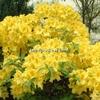 Rhododendron (azalée caduque) 'Annecke' 80/100 C5L