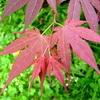 Aceraceae