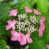 Hydrangea macrophylla 'Flamingo' 20/40 C4L
