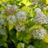 Physocarpus opulifolius 'Nugget' 40/60 C4L