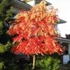 Oxydendrum arboreum 60/80 C4L