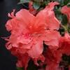 Rhododendron (azalée persistante) 'Encore Sunset' ®