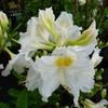 Rhododendron (azalée caduque) 'Persil' 40/60 C5L