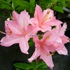 Rhododendron (azalée caduque) 'Jolie Madame' 60/80 C4/5L