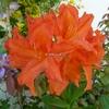 Rhododendron (azalée caduque) 'Gibraltar' 40/60 C4L