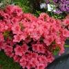 Rhododendron (azalée persistante) 'Christina' 30/40 C5L